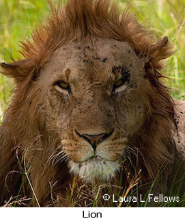 Lion - © Laura L Fellows and Exotic Birding Tours