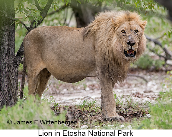 Lion - © The Photographer and Exotic Birding LLC