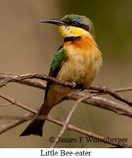 Little Bee-eater - © James F Wittenberger and Exotic Birding Tours