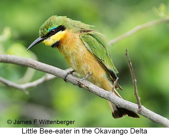 Little Bee-eater - © James F Wittenberger and Exotic Birding LLC