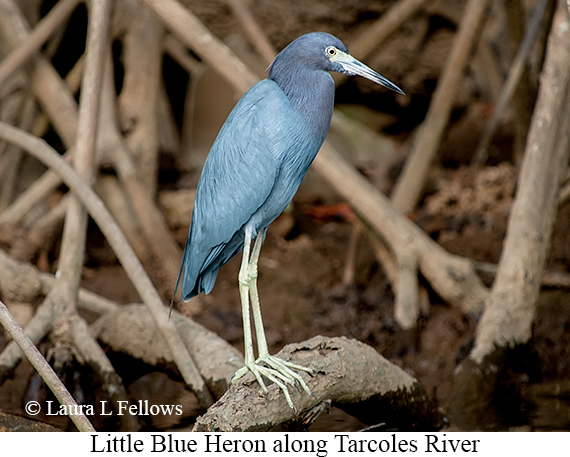 Little Blue Heron - © Laura L Fellows and Exotic Birding LLC