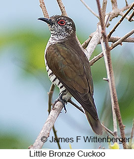 Little Bronze-Cuckoo - © James F Wittenberger and Exotic Birding Tours