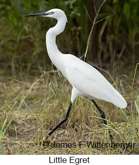 Little Egret - © James F Wittenberger and Exotic Birding LLC