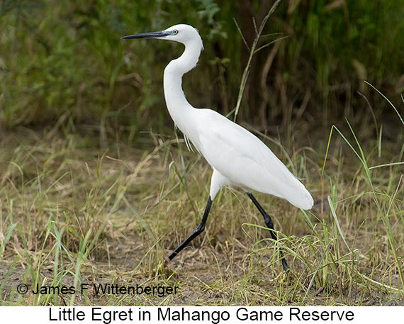 Little Egret - © Laura L Fellows and Exotic Birding Tours
