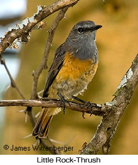 Little Rock-Thrush - © James F Wittenberger and Exotic Birding Tours