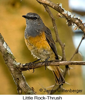 Little Rock-Thrush - © James F Wittenberger and Exotic Birding LLC