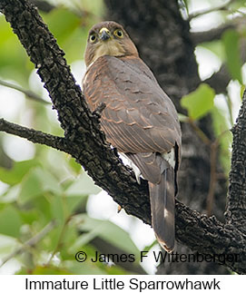 Little Sparrowhawk - © James F Wittenberger and Exotic Birding LLC