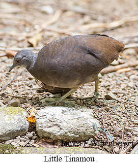 Little Tinamou - © James F Wittenberger and Exotic Birding LLC