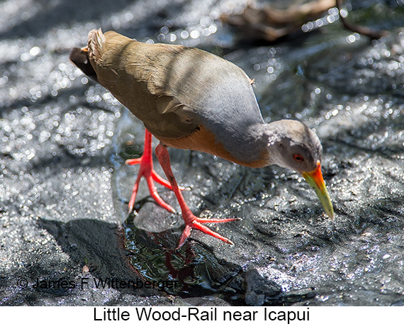 Little Wood-Rail - © James F Wittenberger and Exotic Birding LLC