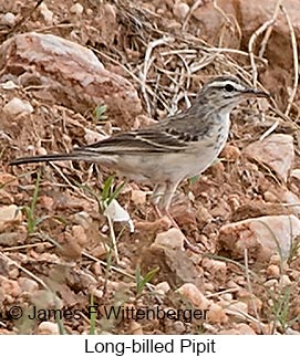 Long-billed Pipit - © James F Wittenberger and Exotic Birding LLC