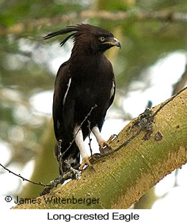 Long-crested Eagle - © James F Wittenberger and Exotic Birding LLC