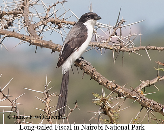 Long-tailed Fiscal - © James F Wittenberger and Exotic Birding Tours