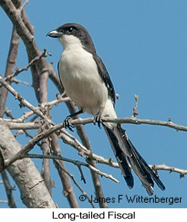 Long-tailed Fiscal - © James F Wittenberger and Exotic Birding LLC