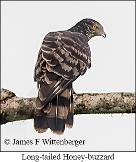 Long-tailed Honey-buzzard - © James F Wittenberger and Exotic Birding Tours
