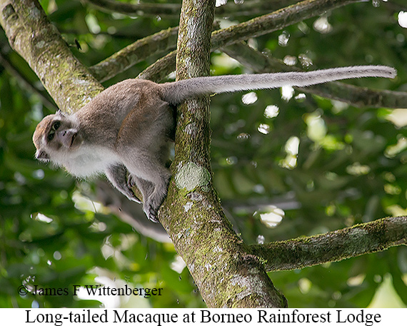 Long-tailed Macaque - © The Photographer and Exotic Birding LLC