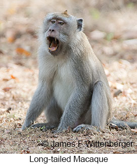 Long-tailed Macaque - © James F Wittenberger and Exotic Birding Tours