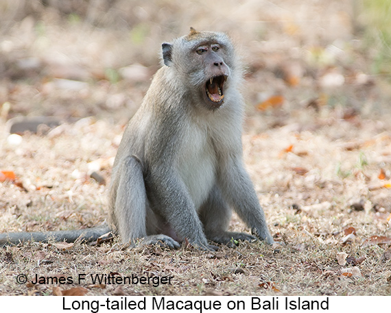 Long-tailed Macaque - © Laura L Fellows and Exotic Birding Tours