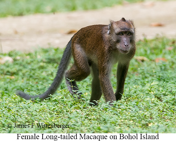 Long-tailed Macaque Female - © James F Wittenberger and Exotic Birding Tours