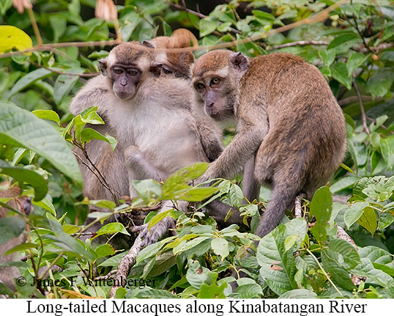 Long-tailed Macaque Female - © The Photographer and Exotic Birding LLC