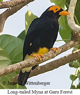 Long-tailed Myna - © James F Wittenberger and Exotic Birding LLC
