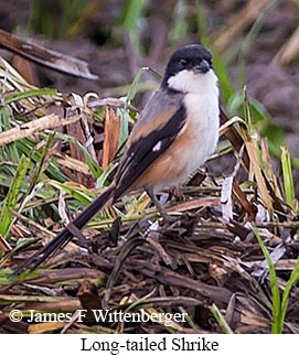 Long-tailed Shrike - © James F Wittenberger and Exotic Birding Tours