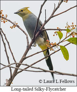 Long-tailed Silky-flycatcher - © Laura L Fellows and Exotic Birding Tours