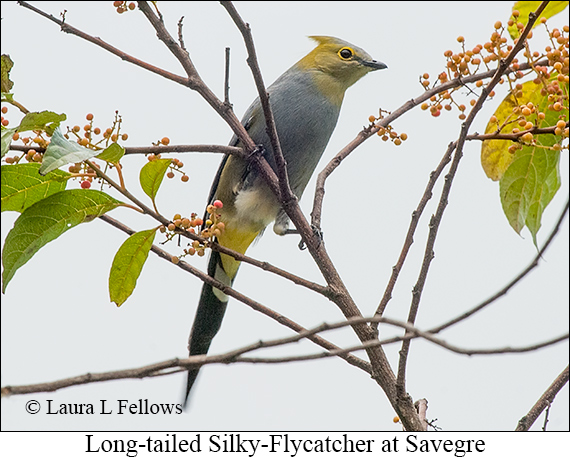 Long-tailed Silky-flycatcher - © Laura L Fellows and Exotic Birding LLC