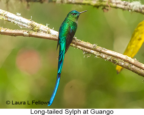 Long-tailed Sylph - © Laura L Fellows and Exotic Birding Tours