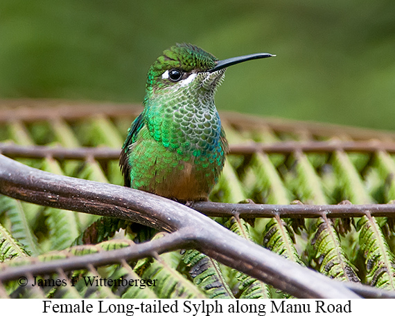 Long-tailed Sylph - © James F Wittenberger and Exotic Birding Tours