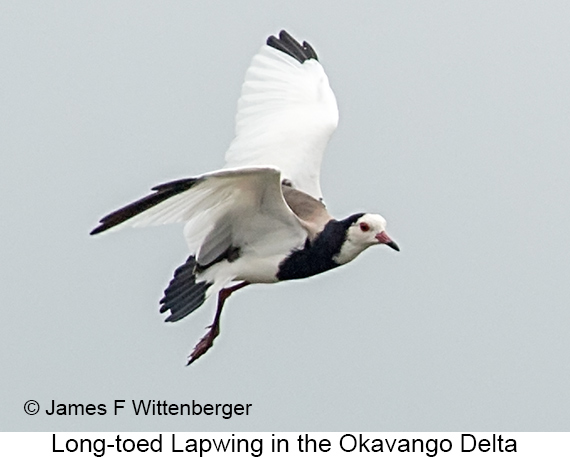 Long-toed Lapwing - © The Photographer and Exotic Birding LLC