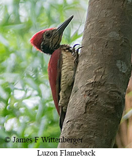 Luzon Flameback - © James F Wittenberger and Exotic Birding Tours