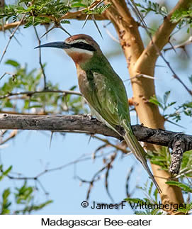 Madagascar Bee-eater - © James F Wittenberger and Exotic Birding LLC