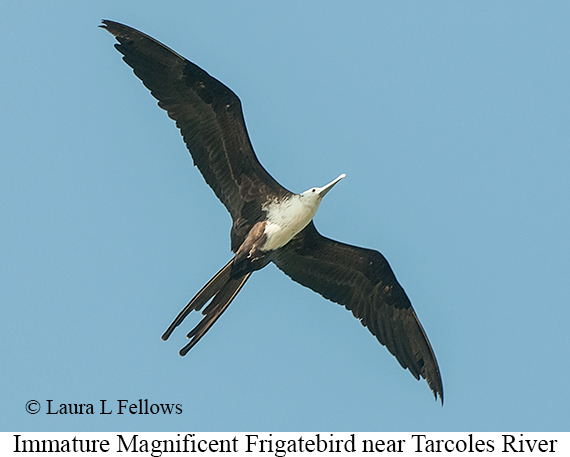 Magnificent Frigatebird - © The Photographer and Exotic Birding LLC