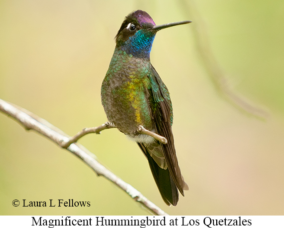 Magnificent Hummingbird - © Laura L Fellows and Exotic Birding Tours