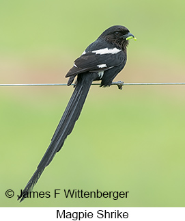 Magpie Shrike - © James F Wittenberger and Exotic Birding LLC