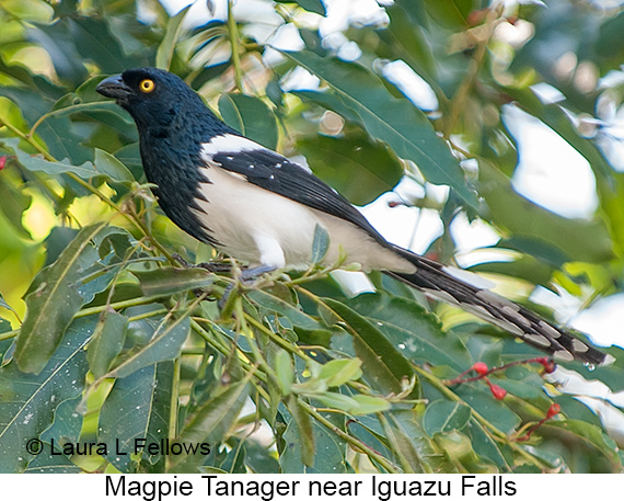 Magpie Tanager - © Laura L Fellows and Exotic Birding LLC