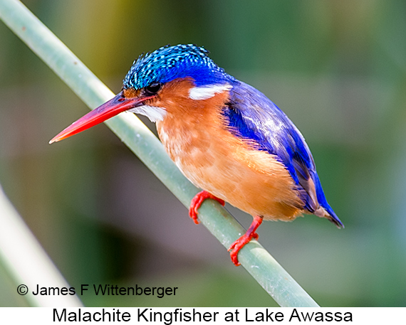 Malachite Kingfisher - © James F Wittenberger and Exotic Birding LLC