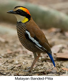 Malayan Banded-Pitta - © James F Wittenberger and Exotic Birding Tours