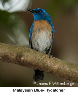 Malaysian Blue Flycatcher - © James F Wittenberger and Exotic Birding Tours