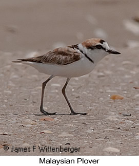 Malaysian Plover - © James F Wittenberger and Exotic Birding Tours