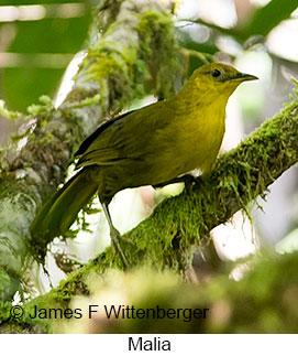 Malia - © James F Wittenberger and Exotic Birding Tours