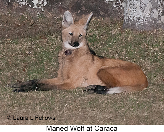 Maned Wolf - © Laura L Fellows and Exotic Birding Tours