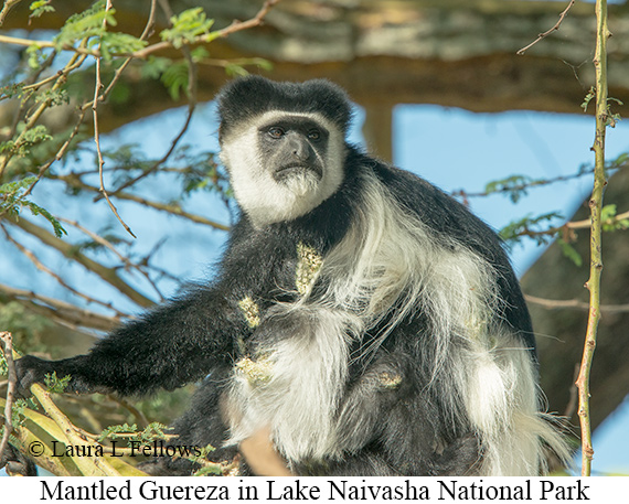 Mantled Guereza - © Laura L Fellows and Exotic Birding Tours