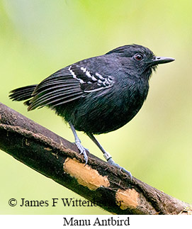 Manu Antbird - © James F Wittenberger and Exotic Birding LLC