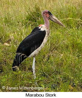 Marabou Stork - © James F Wittenberger and Exotic Birding LLC
