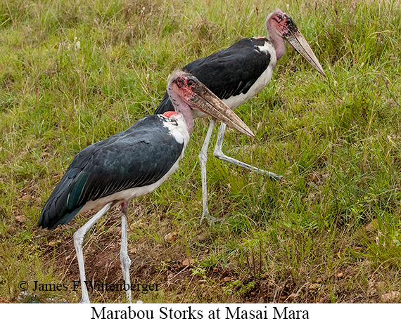 Marabou Stork - © James F Wittenberger and Exotic Birding Tours