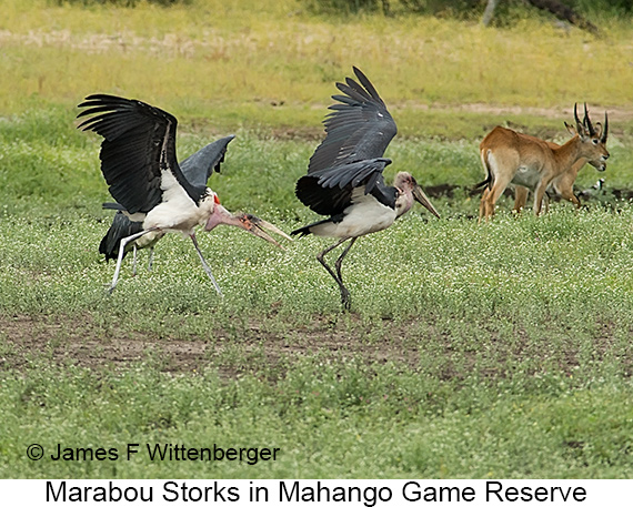 Marabou Stork - © The Photographer and Exotic Birding LLC