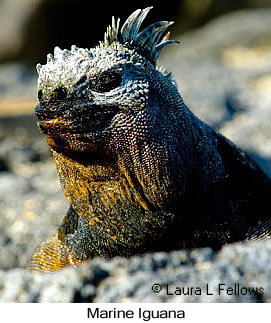 Marine Iguana - © Laura L Fellows and Exotic Birding Tours