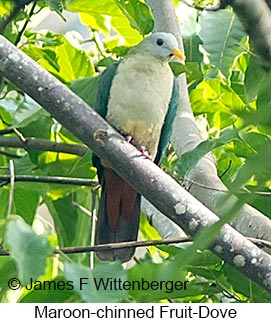 Maroon-chinned Fruit-Dove - © James F Wittenberger and Exotic Birding Tours