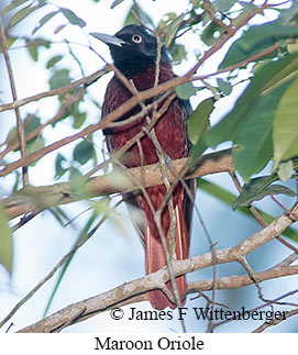 Maroon Oriole - © James F Wittenberger and Exotic Birding Tours